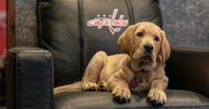 The Capitals Have A New Puppy That Is Also A Service Dog In Training