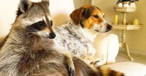 Trash Panda Mistaken For Boston Terrier Invites Himself In To Watch Football With Family