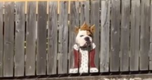 Creative Dog Mom Turns Her Curious Bulldog Into A King