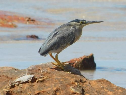 The many poses of a Striated Heron