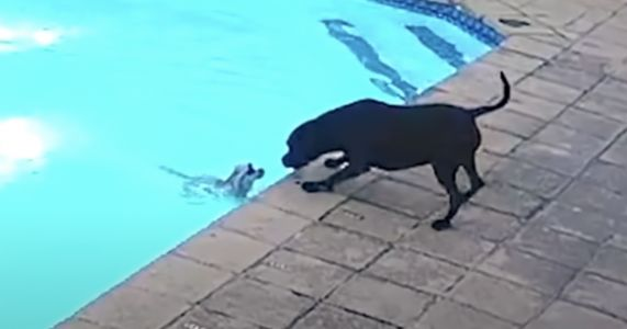 Rescue Pit Bull Rushes To Save Tiny Friend From Drowning
