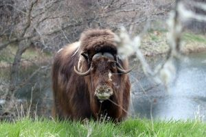 Saying Goodbye to Musk Oxen at the Zoo