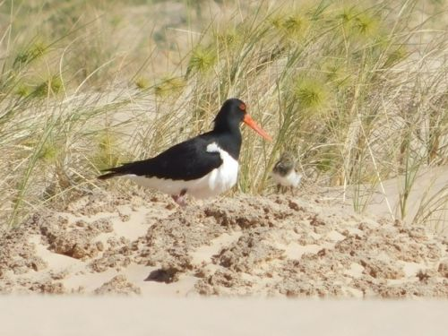 The first Pied Oystercatcher chick of 2020