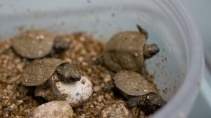A Head Start for Threatened Turtles