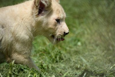 White Lion Cubs Now On Exhibit