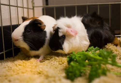 """""""CHIP"""" and """"DALE Guinea Pig buddies"""