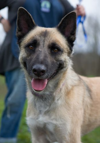 """""""CHARLEY"""" Great Dog! german shep/akita - lived with kids and cats"""