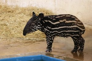 """Behind the Scenes with the Zoo's """"Tapir Whisperer"""""""