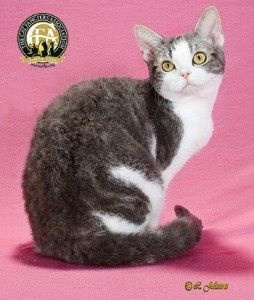 Meet the American Wirehair