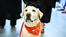 Virginia Tech Therapy Dog Gets Honorary Degree After Years Of Helping Students