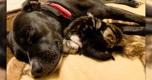 """Once Labeled """"Aggressive"""", Pit Bull Showers Love On His Foster Kittens"""