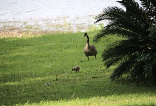 Springtime in Canada Geese Country