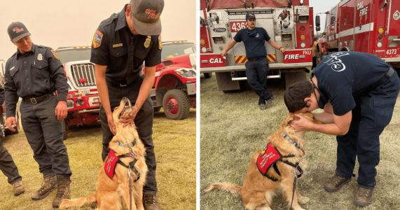 Therapy Golden Retrievers Comfort Overworked Firefighters On West Coast