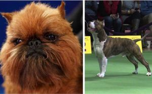 A Wookiee Lookalike & An Underdog Score Big At National Dog Show