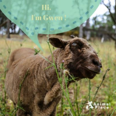 Many sheep like Gwen live a life of pain and misery because of
