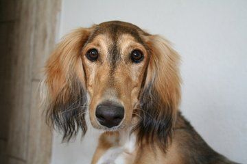 Breed Spotlight:  Saluki | Winslow Animal Hospital Dog & Cat