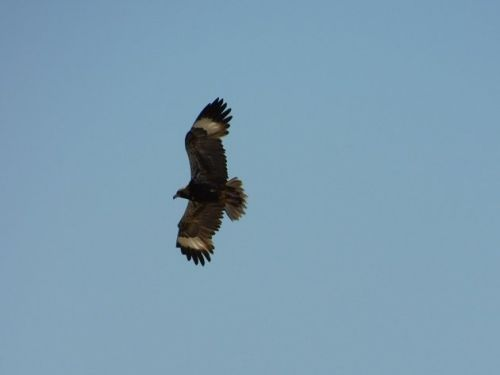 Black-breasted Buzzards and their wing panels