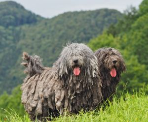 Meet The 7 New Dog Breeds Introduced By The AKC-All From The Comfort Of Your Living Room!