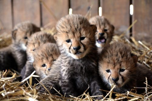 Septuplet Cheetah Cubs Born