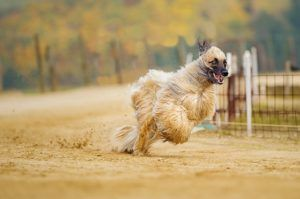 The 10 Least Obedient Dog Breeds