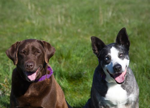 """""""BELLA"""" lab """"NINA"""" big sweet bonded pair - good with cats, kids, dogs"""