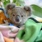 Helping Endangered Koalas' Health-and Potentially Humans' Too