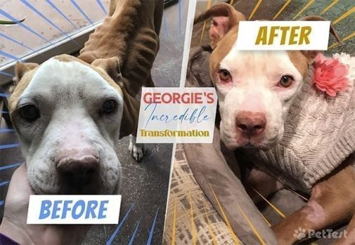 "A Tale of Two ""Pitties"" - Georgie's Total Transformation"