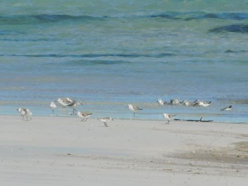 Shorebird chat