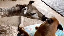 This Orphaned Giraffe And Guard Dog Are Instant Best Friends