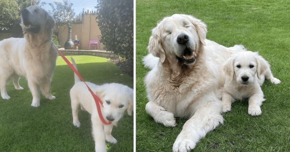 Golden Retriever Puppy Is A Guide Dog For His Blind Big Brother