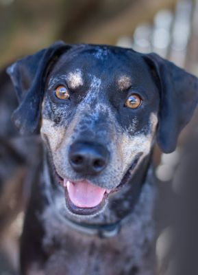 """""""CHESTER"""" nice Catahoula Leopard Dog mix"""