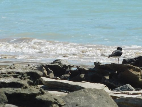 Pied Oystercatcher chick-cautiously optimistic