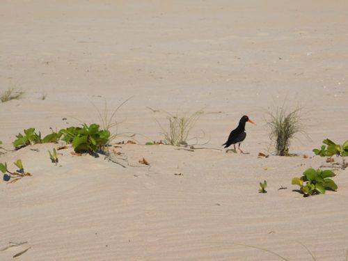 Cable Beach Pied Oystercatchers continue to hatch