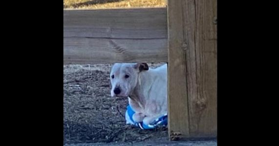 Abandoned Pit Bull With Frostbite Clings To Towel For Warmth