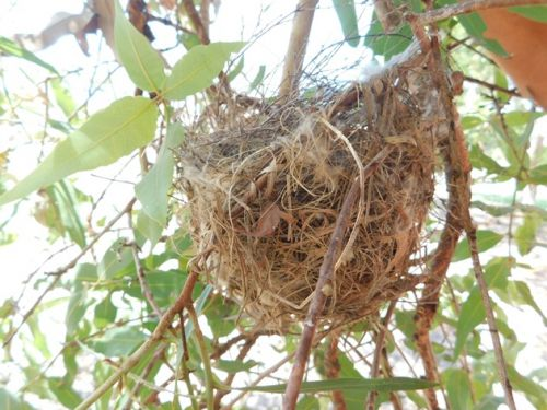 Little Friarbirds nesting in Broome