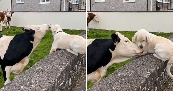 Excited Golden Retriever Licks The Face Of His Best Cow Friend