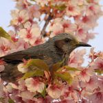 Brown-eared Bulbuls in blossom
