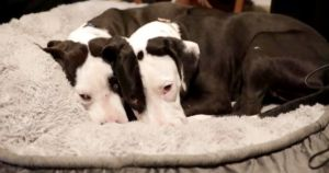 You Helped Four At-Risk Pit Bull Puppies Find Loving Homes!