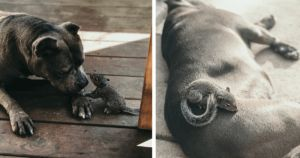 Baby Squirrel Claims Motherly Pit Bull As Her Own