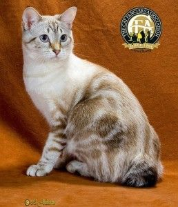 Meet the American Bobtail