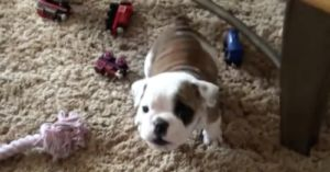 Bulldog Puppy Being Baby-Talked To Demands Respect