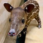 A Tale of Two Tapirs
