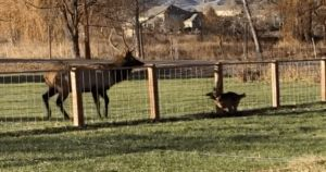 German Shepherd And Elk Play Annual Game Of Chase And It's Adorable