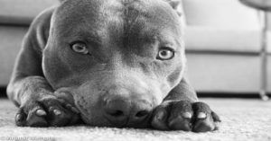 Pit Bull Saves Woman's Life, Changing Her Views On His Breed Forever