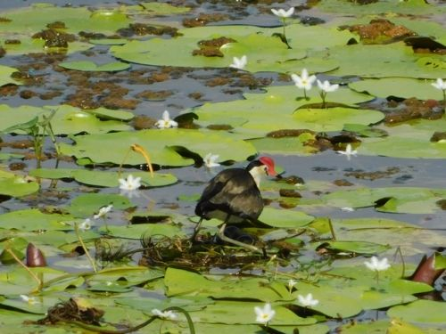 Comb-crested Jacanas breeding