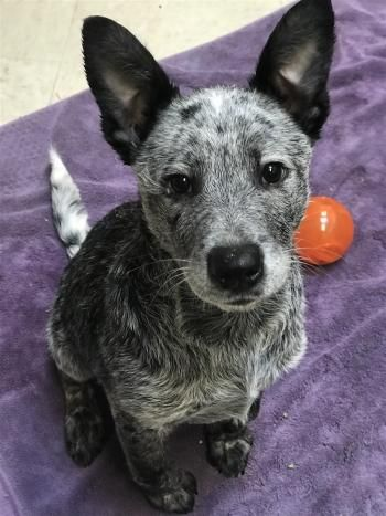 """""""TINSEL"""" Cattle Dog mix puppy"""