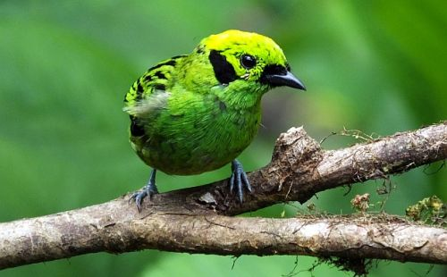 Birding News from Costa Rica at the Start of the Pandemic