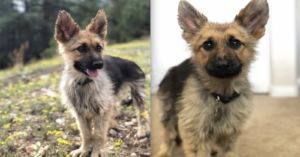 Ranger The German Shepherd Will Remain Puppy-Sized Forever
