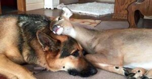 Orphaned Fawns Survive With Love Of Gentle German Shepherd