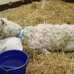 Clinical Case Challenge: Acute Weakness in an Adult Alpaca